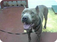 Atlanta, GA - Pit Bull Terrier. Meet NIMBUS, a dog for adoption. http://www.adoptapet.com/pet/12750324-atlanta-georgia-pit-bull-terrier