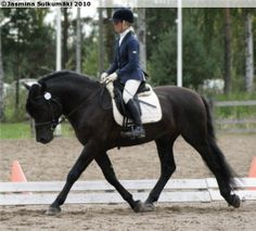 Finnhorse stallion Salmiakki Poika