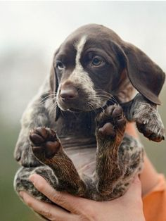 German Short-haired Pointer Puppy #germanshorthairedpointerpuppy