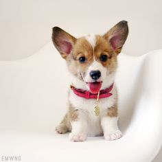 Welsh corgi puppies, dogs and puppies, pembroke welsh corgi, cute puppies, baby Cute Corgi, Cute Puppies, Dogs And Puppies, Pet Dogs, Dog Cat, Welsh Corgi Puppies, Baby Corgi, Illustrations, Beautiful Dogs
