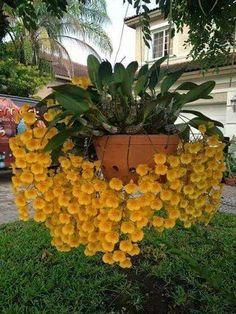 Clique e assista o vídeo. Orchids Garden, Orchid Plants, Exotic Plants, Tropical Plants, Rare Orchids, Dendrobium Orchids, Unusual Flowers, Beautiful Flowers, Beautiful Beautiful