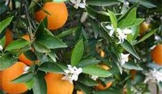 orange grove redlands california - Bing Images