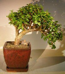 """This succulent bonsai, also known as the """"Elephant Bush"""", is native to South Africa and has pale green leaves that are almost round and about one-third the size of the common Jade plant. The fleshy trunk, branches, and leaves are used to store water. Trained in the cascade style. An excellent bonsai tree for the home or office."""