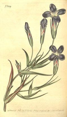v.17-18 (1803) - Curtis's botanical magazine. - Biodiversity Heritage Library
