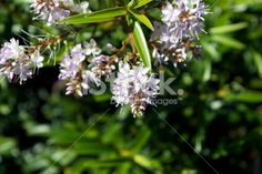 New Zealand Hebe Flower Royalty Free Stock Photo Close Up Photos, Flower Photos, Image Now, New Zealand, Royalty Free Stock Photos, Flowers, Plants, Photography, Photograph