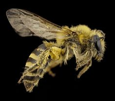 These spectacular lab photos showcase the beauty of the humble bee — Quartz Photography Set Up, Macro Photography, Humble Bee, Bees And Wasps, Bee Tattoo, Bee Art, Save The Bees, Bees Knees, Close Up Photos