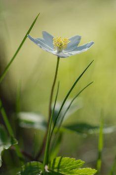 Wood anemone by Kaire P-L / 500px Wood Anemone, Dandelion, Flowers, Plants, Dandelions, Plant, Taraxacum Officinale, Royal Icing Flowers, Flower
