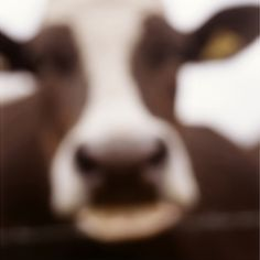 Cow, Lewknor, Oxfordshire, England, ed. of 23