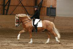 Finnhorse stallion Lerkkana