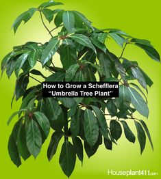 How to grow and care for a Schefflera, also called an Umbrella Tree plant. Learn about light, water, Sun Plants, Fruit Plants, Rare Plants, House Plants, Trees To Plant, Plant Leaves, Umbrella Tree, Growing Plants Indoors, Plant Diseases