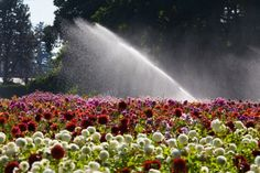 Landscape Irrigation For Flowers | Symcorp Plumbing Services love to install and maintain your garden and landscaping irrigation systems. In fact we specialize in providing these services. Landscape irrigation is so important on the Gold Coast so that you can you're your home or your business gardens looking their best.