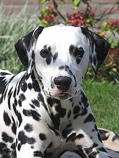 Dalmatian_face.jpg