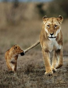 Lion cub just tagging along with Mum on the morning walk.