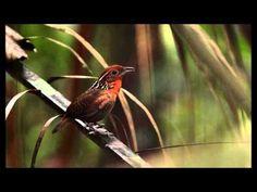 Lindo Canto do Uirapuru  (Cyphorhinus aradus) Musician Wren