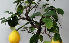 zitronenbaum richtig züchten schöne dekoideen