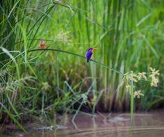 Kingfisher in the green season Luangwa River Zambia Kingfisher, Love Birds, Luxury Travel, Bees, Safari, Butterflies, Things To Do, River, How To Plan