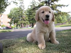 golden-retriever-puppy - one of the most adorable animals in the world... I wish they would stay little!