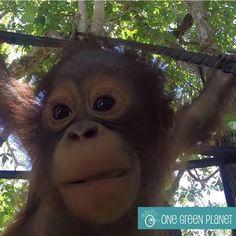 Budi the Baby orangutan