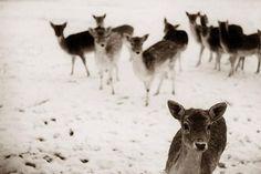 #winter #deer