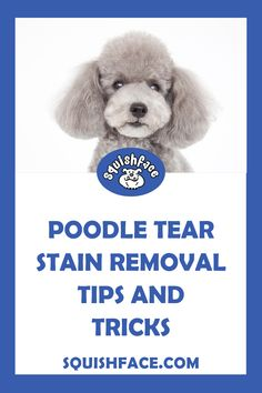 Poodle eye stains can just be cosmetic or they can be a sign of an underlying dog eye health issue. Learn what to look for when your Poodle has watery eyes, when to act, and learn dog tear stain remedies and easy dog tear stain removal tips including for white dog eye stains. Learn more for keeping your poodle eye health on the up and up as well as easy and effective tear stain removal for a beautiful poodle face. | Squishface Dog Care Products Tear Stain Removal Dogs, Dog Tear Stains, Dog Health Tips, Dog Health Care, Puppy Care, Dog Care, Itchy Dog Remedies, Wrinkle Dogs, Dog Hot Spots