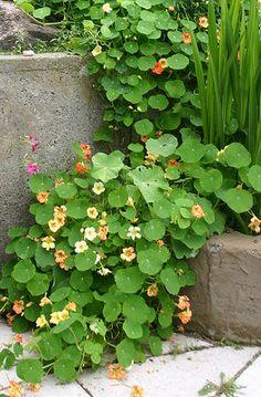 nasturtiums   always reminds me of the pathways in Monet's garden.