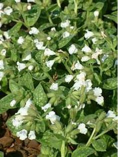 Pulmonaria saccharata 'Sissinghurst White' - cloture maison section Garden Shade, Shade Plants, White Flowers, Herbs, Gardening, Medium, Flowers, Shadow Plants, Garden