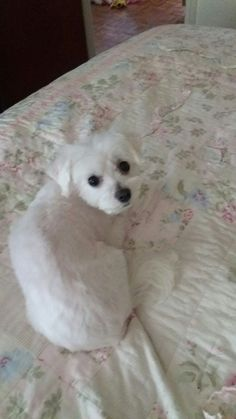 Pretty awe so cute.looks just like my nella who died 17 years ago 😢 Teacup Puppies, Cute Puppies, Cute Dogs, Teacup Maltese, Beautiful Dogs, Animals Beautiful, Baby Animals, Cute Animals, Shih Poo