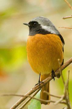 Daurian Redstart - The Daurian redstart (Phoenicurus auroreus) is a small passerine bird from temperate Asia. In Japan, it is known as jōbitaki (ジョウビタキ). http://en.wikipedia.org/wiki/Daurian_redstart
