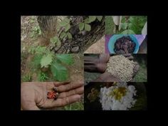 Medicinal Rice B4 Formulations for Greenish Urine: Pankaj Oudhia's Medic...