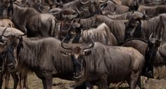 Rush Limbaugh: RINOs like 'wildebeests' | Yes, if wildebeests lie, distort, obfuscate  #GOP #ocra #teaparty #icot #tcot #ncpol #sctweets