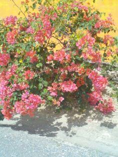 Bougainvillea in bloom