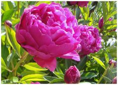 Would you like to go on a tour of another garden? My sister Biche (back from hanami in Kyoto - lucky duck :)) sent me these photos o. Monet Garden Giverny, Rose, Spring, Flowers, Plants, Peonies, Pink, Plant, Roses