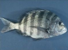 The easiest way to tell if you've caught a sheepshead or a black drum is to look at the 'chin'.   A black drum has barbels under the mouth and a sheepshead doesn't.