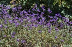 Salvia clevelandii 'Winifred Gilman' Cleveland Sage with deep purple flower, high deer resistance Water Wise Landscaping, Landscaping Plants, Garden Plants, Purple Flowers, Wild Flowers, California Native Garden, Front Yard Plants, Drought Resistant Plants, Landscape Design