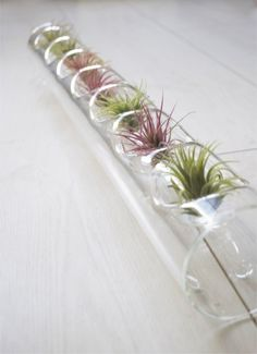Air Plant Centerpiece // Glass Blown Tube and Air Plants by toHOLD