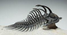 395-345 million year old fossilized Trilobite