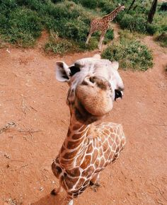Just a fun giraffe Baby Animals Pictures, Cute Animal Photos, Animals And Pets, Cute Pictures, Farm Animals, Cute Little Animals, Cute Funny Animals, Cute Puppies, Cute Dogs