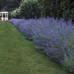 Longwood Blue Blue Mist Shrub (Caryopteris x clandonensis Longwood Blue) at Wayside Gardens