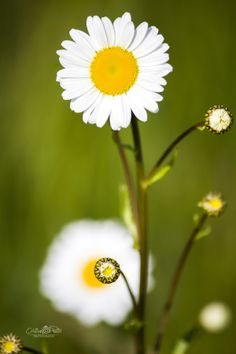 Untitled by Cristian Petri on Different Points Of View, Macro Photography, Daisy, Sunshine, World, Flowers, Plants, Photos, Pictures