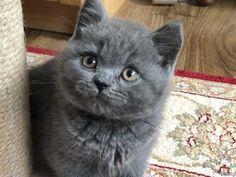 Gorgeous Blue BSH Boys for sale   Birmingham, West Midlands   Pets4Homes Pet Breeds, Puppy Breeds, Cat Skin, British Shorthair Kittens, Kitten For Sale, Catus, Animal Activities, West Midlands