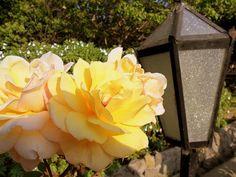 """Rosas en """"El Eden"""" de Quillota"""