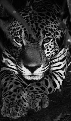 Jaguar - wow I love the black and white in this photo!!!