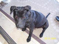 Mesa, AZ - Labrador Retriever/American Bulldog Mix. Meet MAX2 a Dog for Adoption.