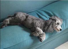 #poodles #poodle #greypoodle #lindaandwinks