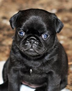 Pug.Now really, the black pugs are the cutest!  Our black pug/cocker mix is just adorable.  Check out my favorite fotos to see pix of my Vinnie!