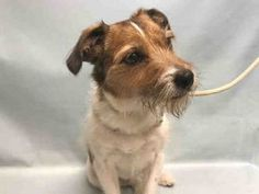 RETURN! NO TIME! SUPER URGENT 04/11/2017 Manhattan Center WISHBONE – A0912567  **RETURNED 04/11/2017**  NEUTERED MALE, BROWN / WHITE, JACK RUSS TERR MIX, 7 yrs OWNER SUR – ONHOLDHERE, HOLD FOR ID Reason NO TIME Intake condition UNSPECIFIE Intake Date 04/11/2017, From NY 10009, DueOut Date 04/18/2017,