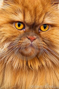 Persian Orange #2 | Stock Image: Persian cat . An orange Persian cat looking at the camera