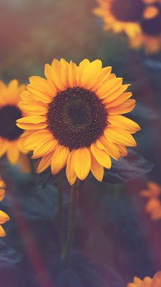 Sunflower Iphone Wallpaper, Flower Phone Wallpaper, Iphone Background Wallpaper, Tumblr Wallpaper, Phone Backgrounds, Aesthetic Backgrounds, Aesthetic Iphone Wallpaper, Aesthetic Wallpapers, Sunflower Photography