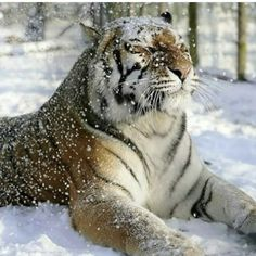 Siberian Tiger, Bengal Tiger, Tiger Tiger, Bengal Cats, Tiger Cubs, Bear Cubs, I Love Cats, Big Cats, Snow Tiger