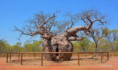 Alberi dei prigionieri: i due leggendari baobab in cui venivano rinchiusi i nativi
